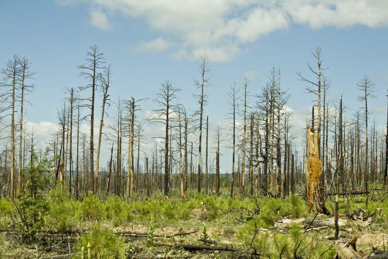 Forêt de l'Arizona après incendie photo stock