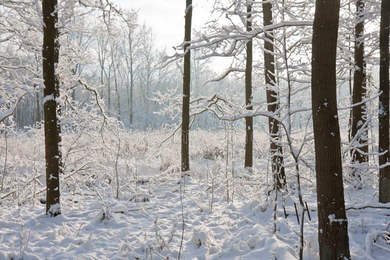 Forêt de l'hiver avec le soleil brillant par les arbres photos libres de droits
