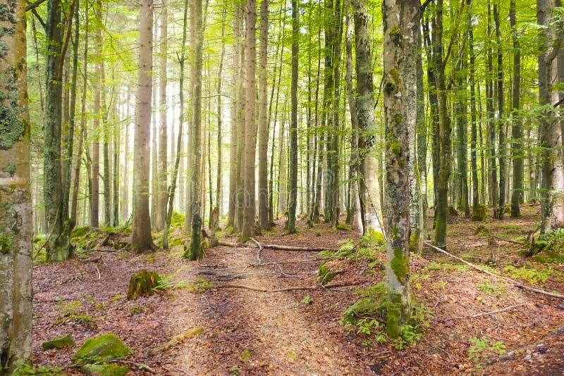 Forêt de lever de soleil au printemps images libres de droits