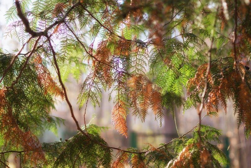 Forêt de lumière du soleil de branche de sapin photographie stock libre de droits