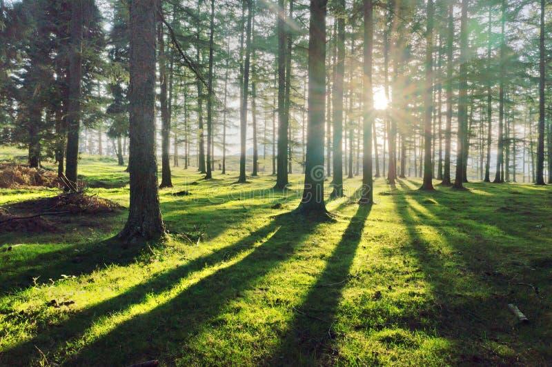 Forêt de mélèze avec la lumière du soleil et les ombres images stock