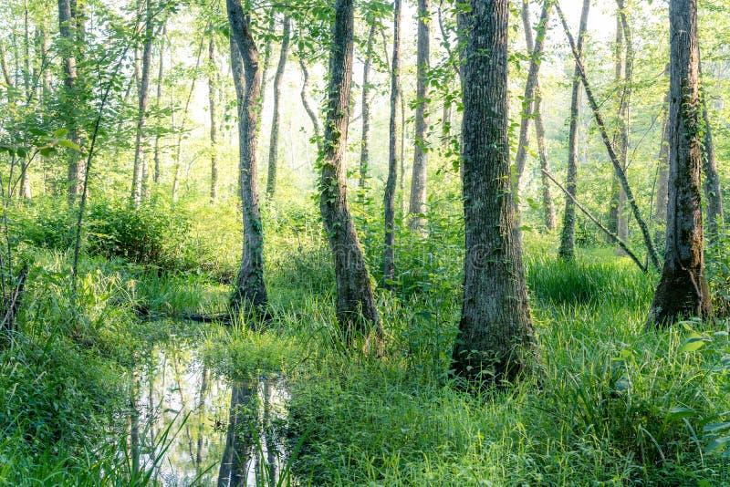Forêt de marais au coucher du soleil 2 photos libres de droits