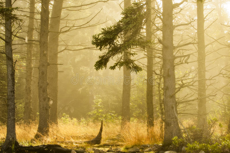 Forêt de matin - stationnement national d'Acadia images stock