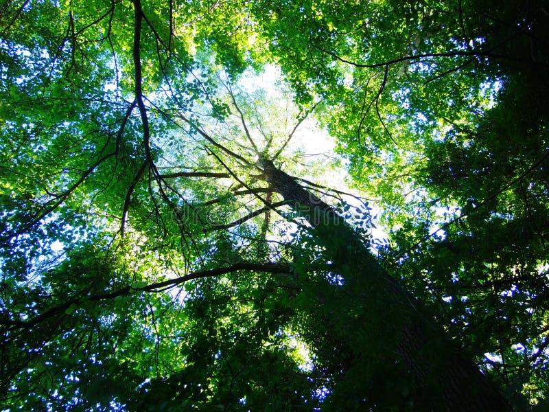 Forêt de nature de ciel de feuille d'arbre photos libres de droits