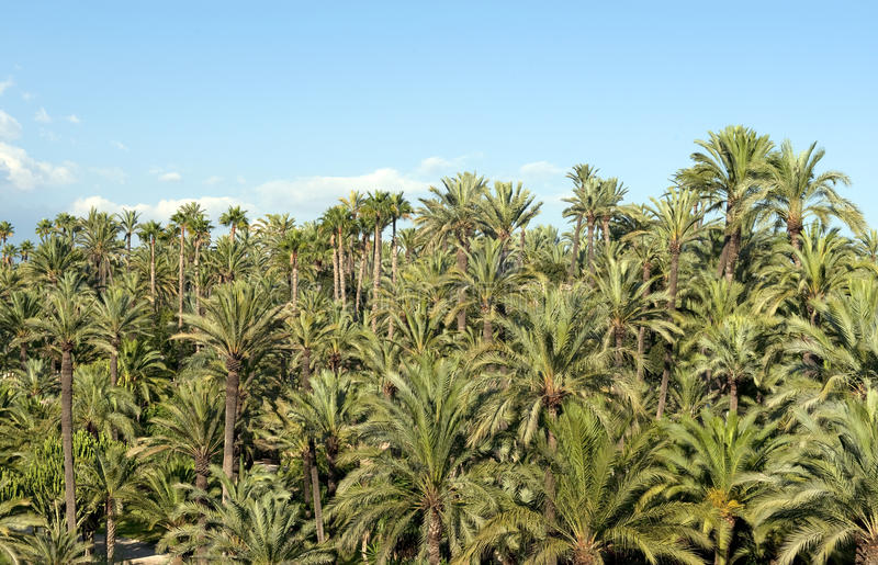 Forêt de palmier à Elche, Espagne image libre de droits