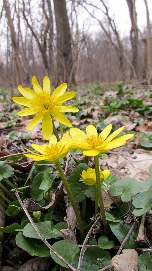 Forêt de palustris de Caltha au printemps image stock
