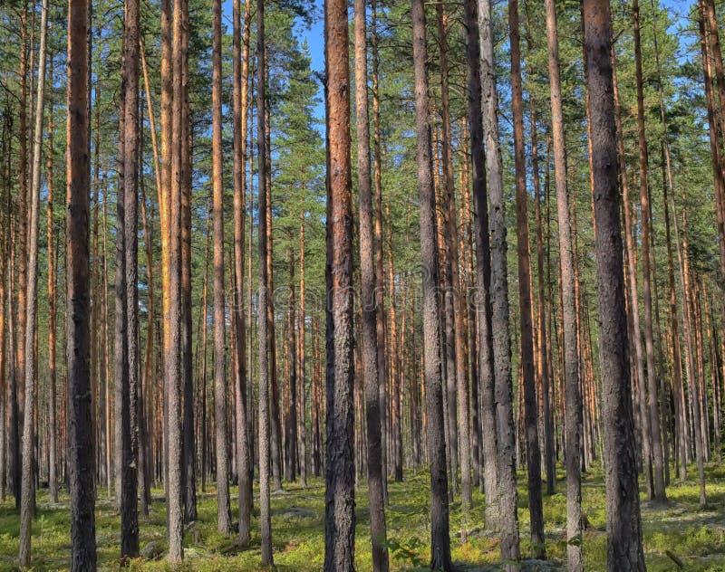 forêt de pin photographie stock libre de droits