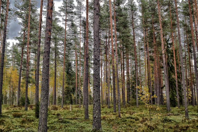 forêt de pin images libres de droits