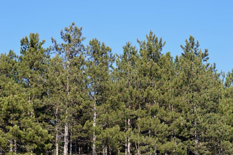 forêt de pin photos stock