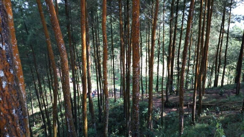 forêt de pin images stock