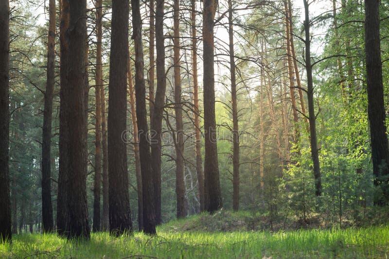 For?t de pin au soleil pendant la pluie de ressort image stock