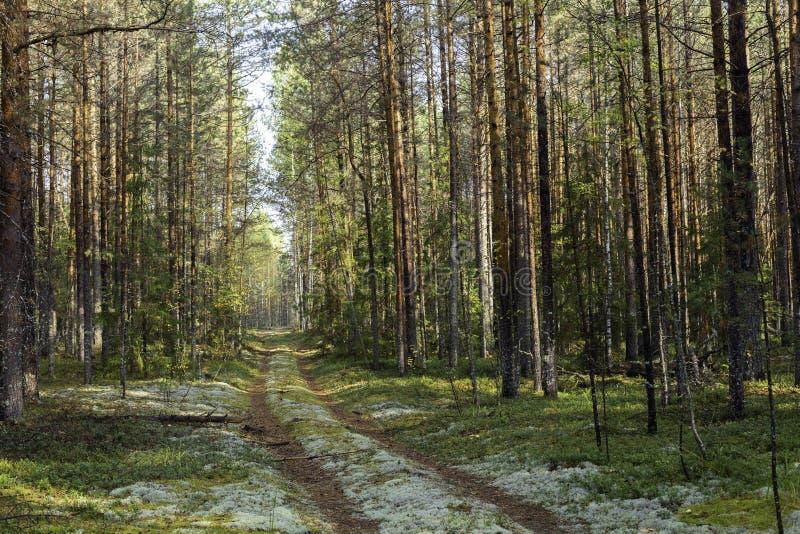 Forêt de pin avec des arbres et un chemin de terre couvert de la mousse pendant l'après-midi en été Paysage images stock