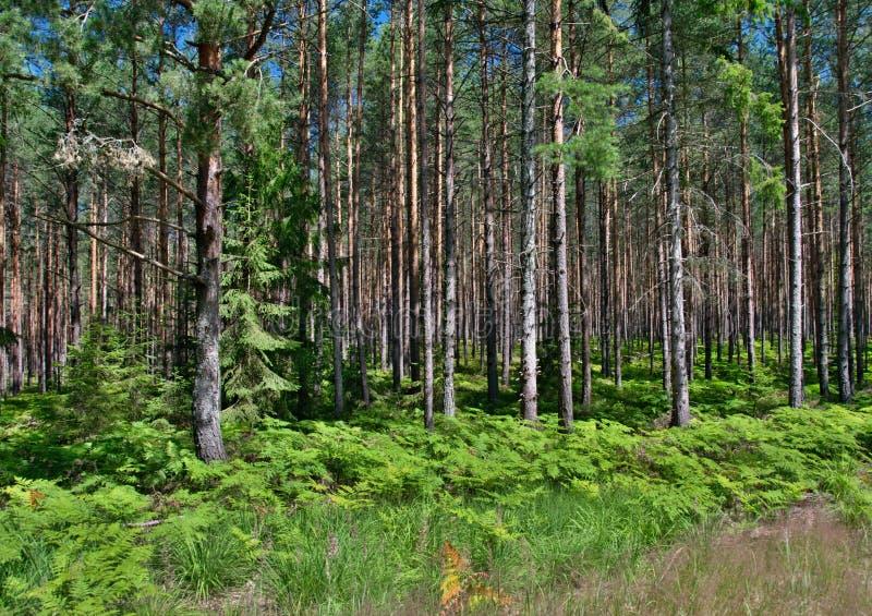 Forêt de pin avec des fougères photos stock