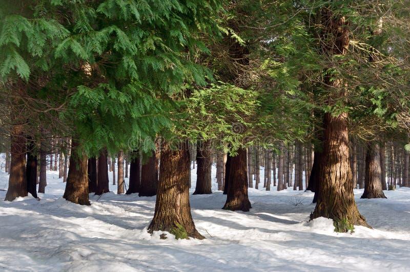Forêt de pin avec la neige images stock