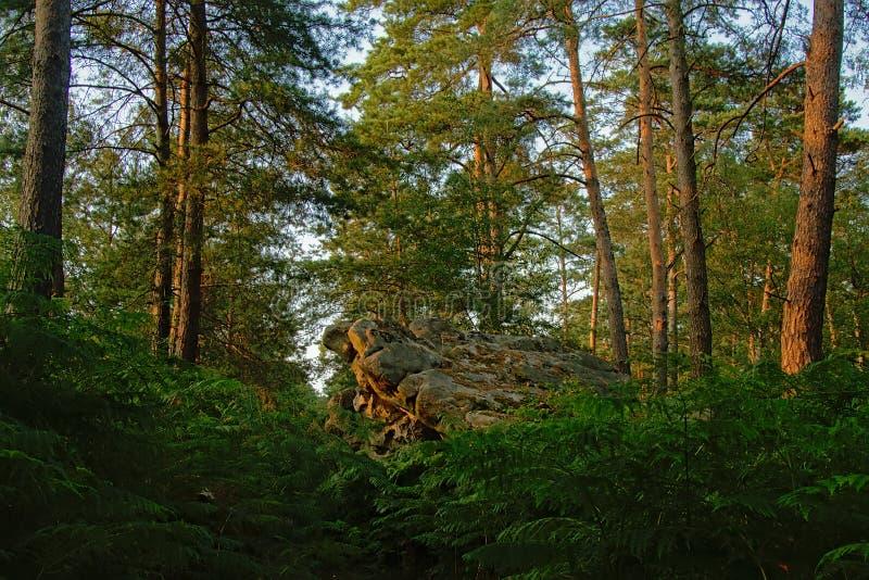 Forêt de pin avec la roche et fougères à la lumière du soleil de soirée photos stock