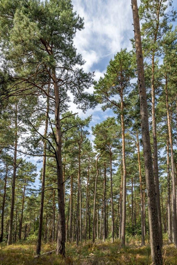 Forêt de pin avec le ciel bleu et les fougères image stock