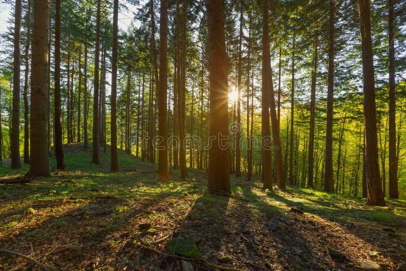 Forêt de pin avec les rayons du soleil images libres de droits