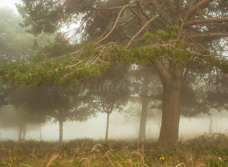 Forêt de pin dans la brume images libres de droits