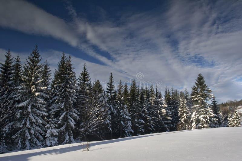 Forêt de pin dans la neige images libres de droits