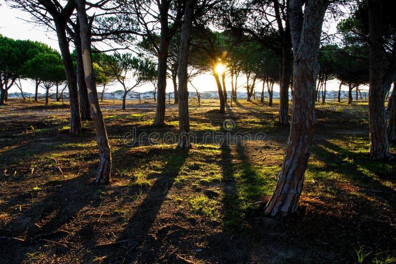 Forêt de pin dans la végétation colorée derrière les dunes de plage à l'aube en Sardaigne image libre de droits
