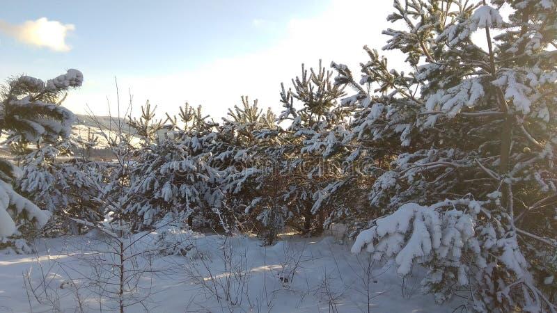 Forêt de pin le matin photographie stock libre de droits