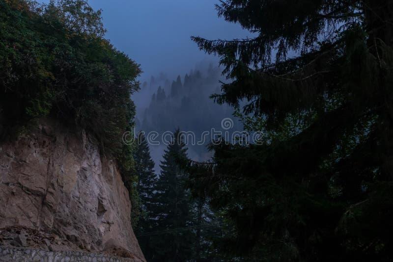 Forêt de pins avec le brouillard photos libres de droits