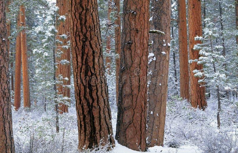 Forêt de Ponderosa dans la neige photographie stock