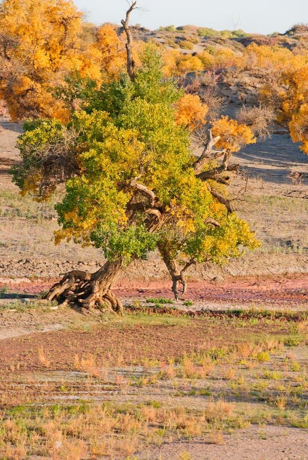 Forêt de Populus photo stock