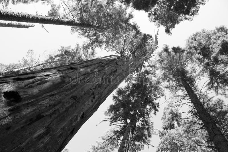 Forêt de séquoia images stock