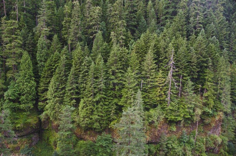 Forêt de sapin de Douglas image libre de droits