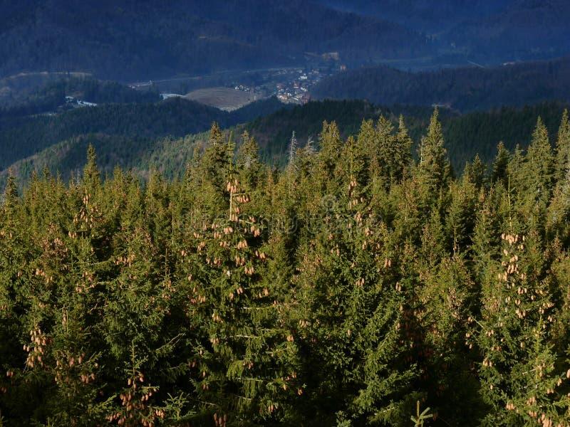Forêt de sapin de montagne photographie stock libre de droits