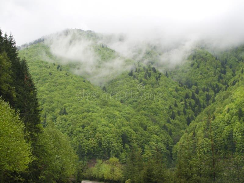 Forêt de sapin en nuages image libre de droits
