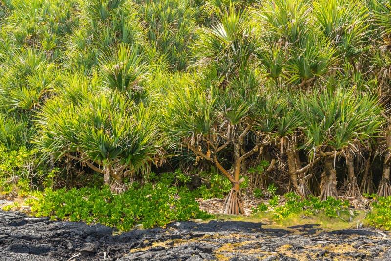 Forêt de screwpine commun (utilis de Pandanus) et de gisement de lave photos stock
