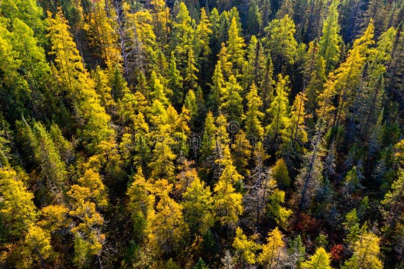Forêt de Tamarack en automne de la vue courbe photo stock
