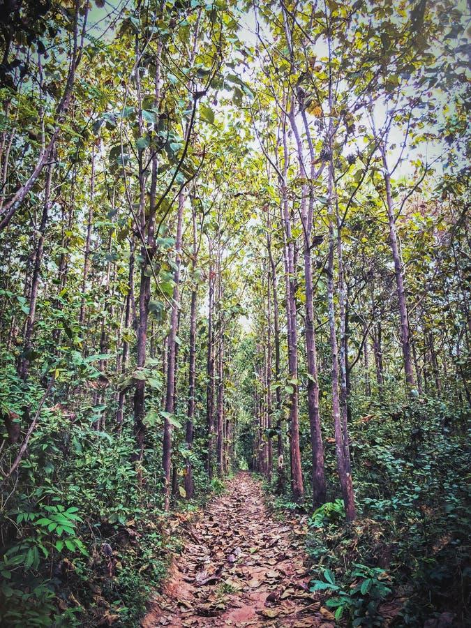 Forêt de Teakwood images stock