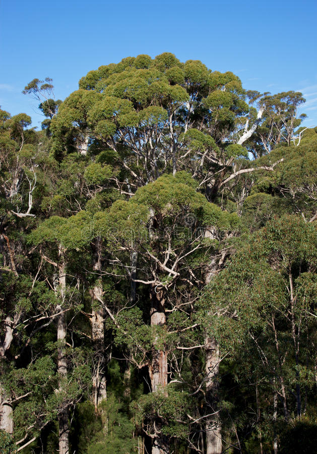 Forêt de tintement photos stock