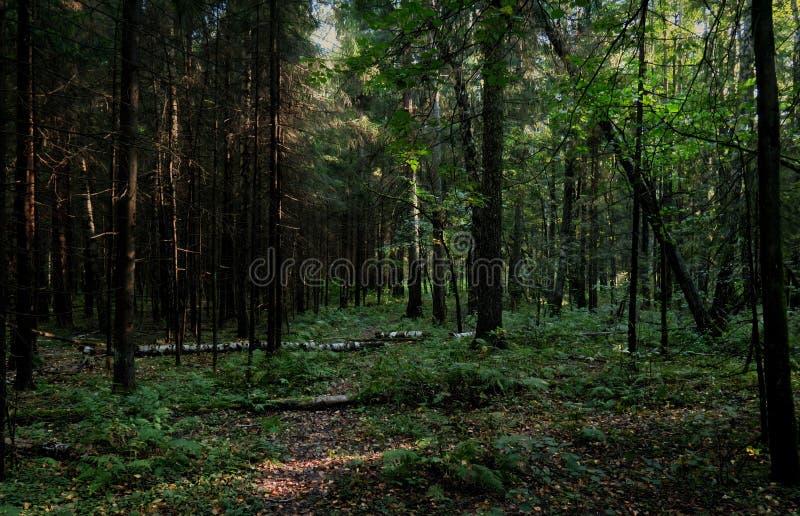 Forêt dense avec les arbres tombés, arbustes et bosquet, photo avec une atmosphère foncée et mystérieuse photographie stock libre de droits