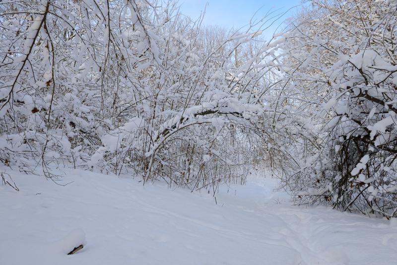 forêt dense couverte de neige avec un sentier piéton photos libres de droits
