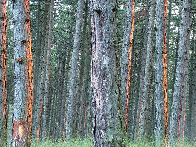 Forêt dense de pin photo stock
