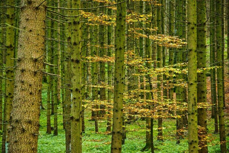 Download Forêt dense en automne photo stock. Image du normal, forêt - 3350058