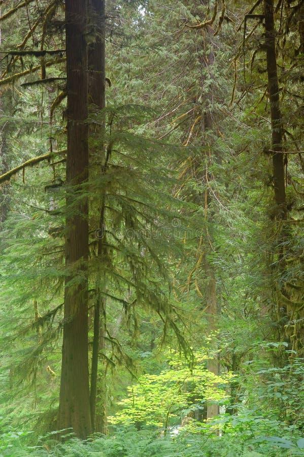 Forêt du nord-ouest Pacifique photos libres de droits