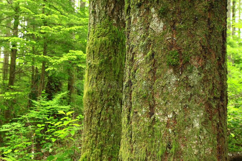 Forêt du nord-ouest Pacifique et sapins argentés photographie stock