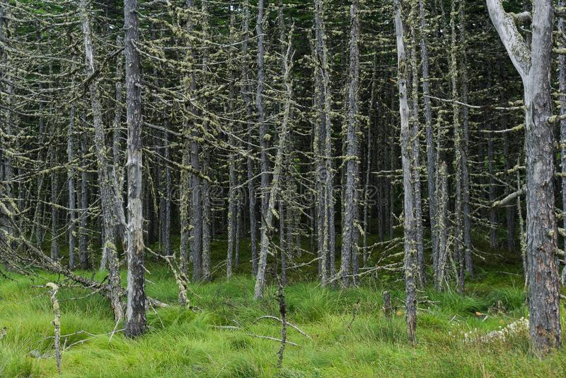 Forêt effrayante, vieille, morte, se tenant dans un marais photographie stock