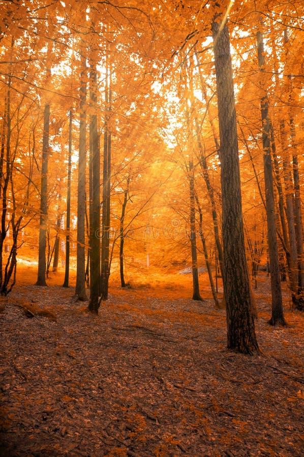 Forêt en automne avec le faisceau de lumière images stock