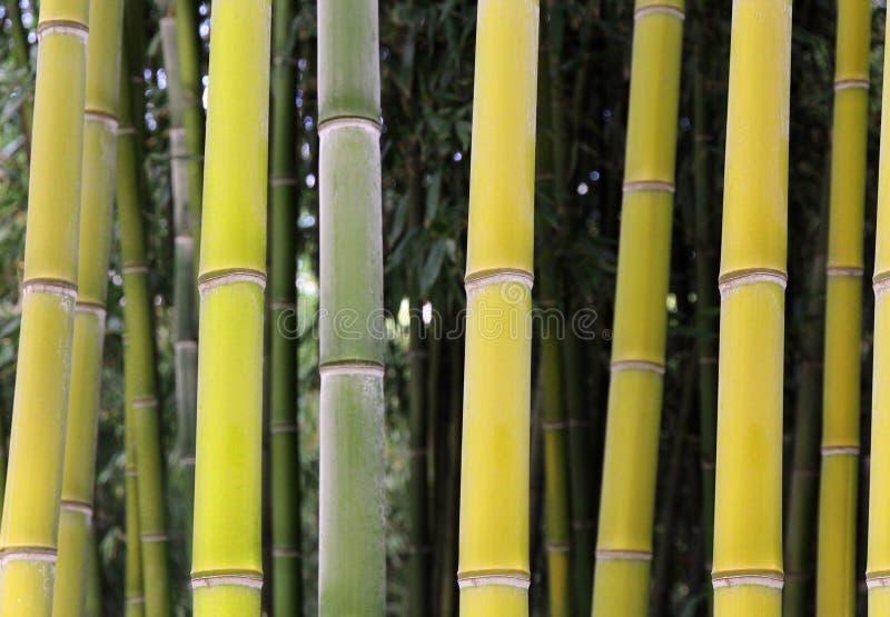Forêt en bambou dans la couleur verte jaune photo stock