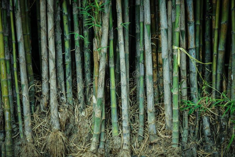Forêt en bambou propre de l'Asie avec la feuille et les racines et arbre droit en Indonésie images stock