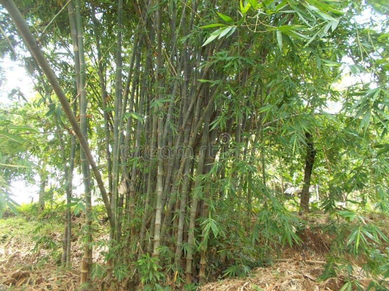 Forêt en bambou sur mon village 2 photos libres de droits