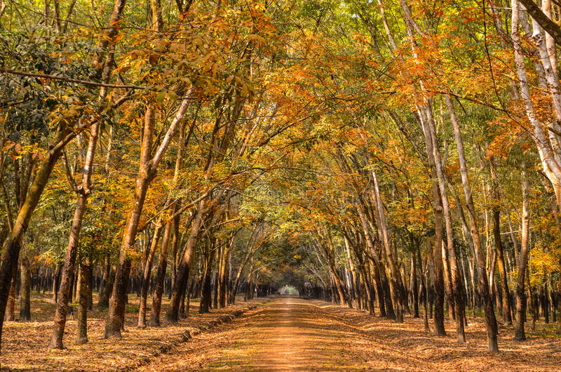 Forêt en caoutchouc au Vietnam photographie stock