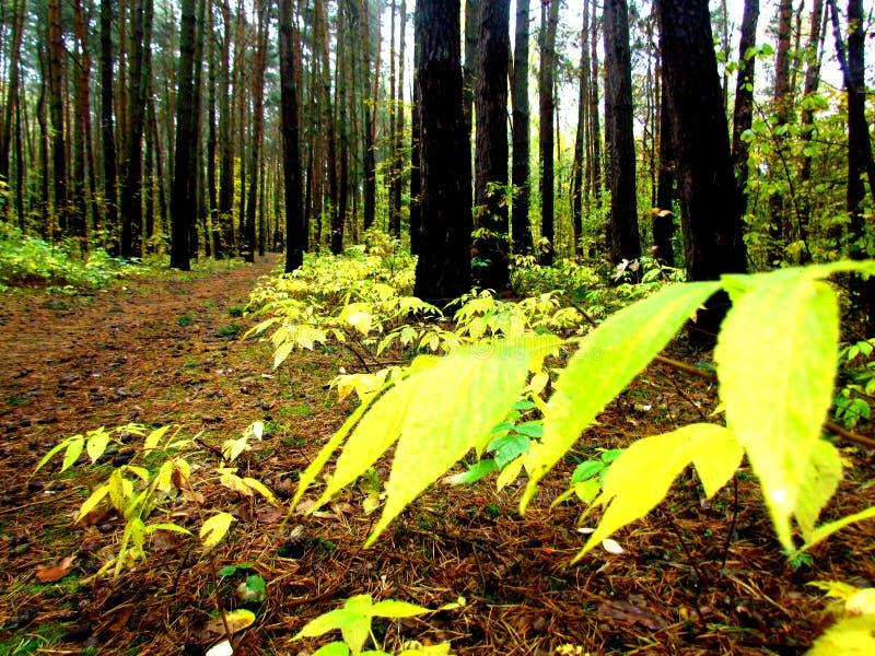 Forêt en Pologne photo libre de droits