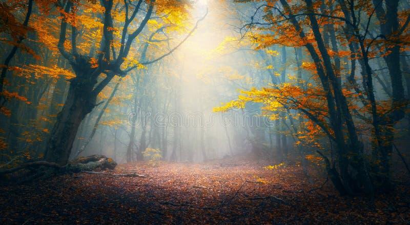 Forêt enchantée d'automne en brouillard pendant le matin Vieil arbre photos libres de droits